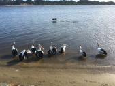 Marlo Pelicans