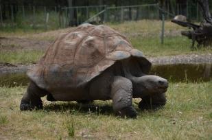 Galapagous tortoise